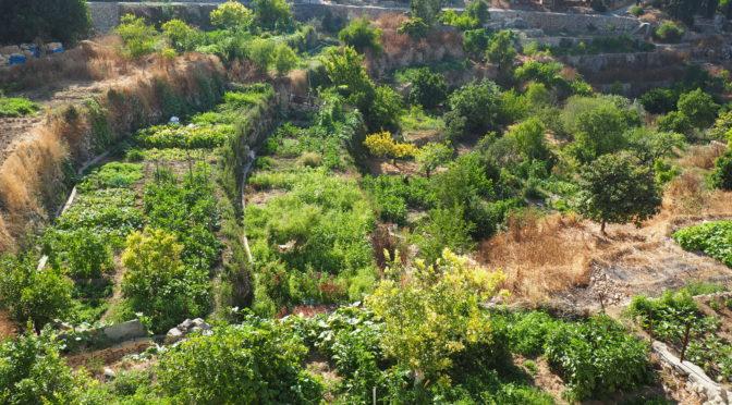 """Contours d'une figure palestinienne : les semences """"baladi"""""""